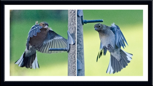two flying chaffinches