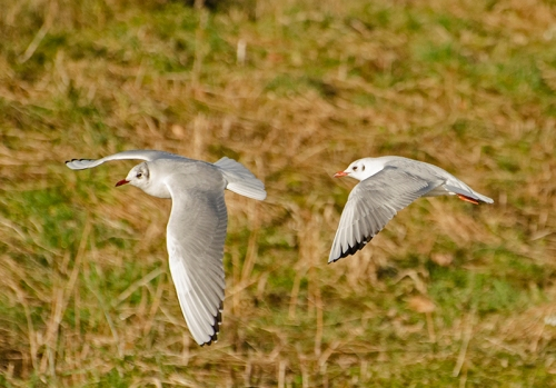two flying gulls