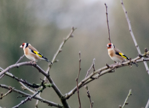 two goldfinches in plum tree