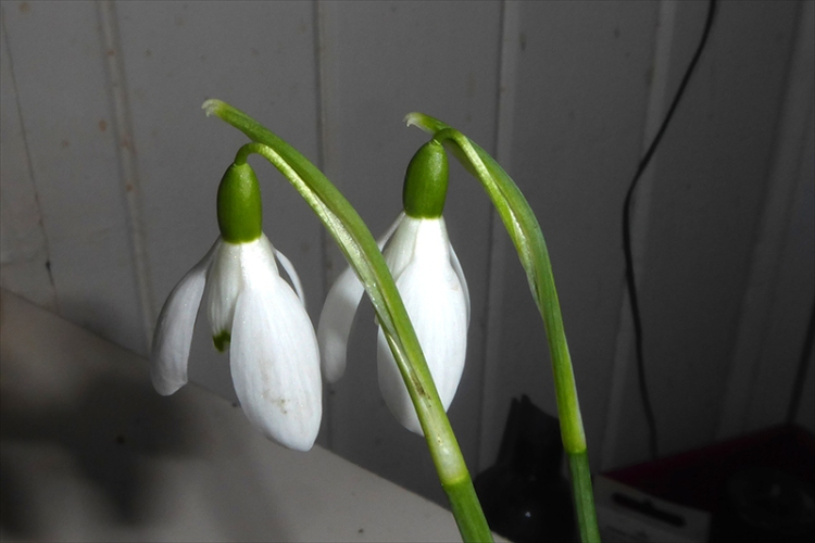 two snowdrops indoors