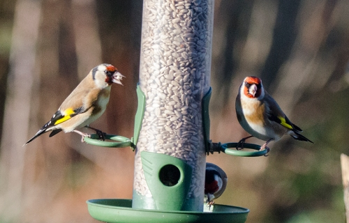 two sunny goldfinches