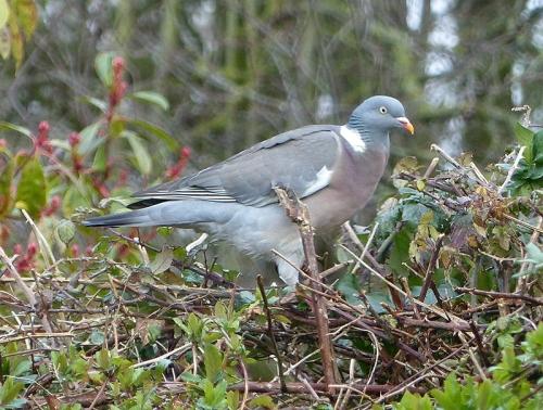 venetia's pigeon