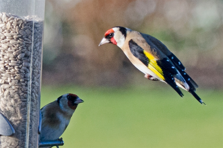 wary eyed goldfinch