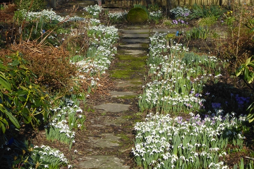 back path snowdrop zenith