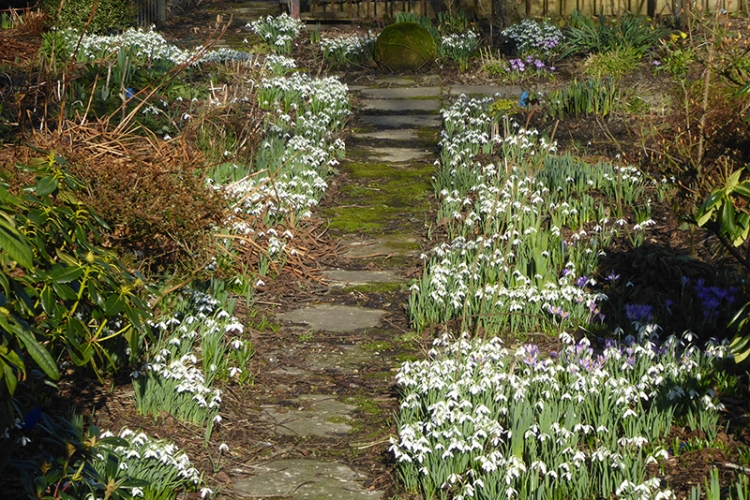 back path snowdrop zenith