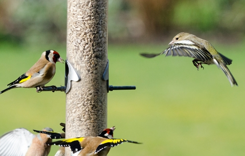 birds bickering