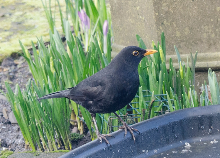 blackbird at feeder