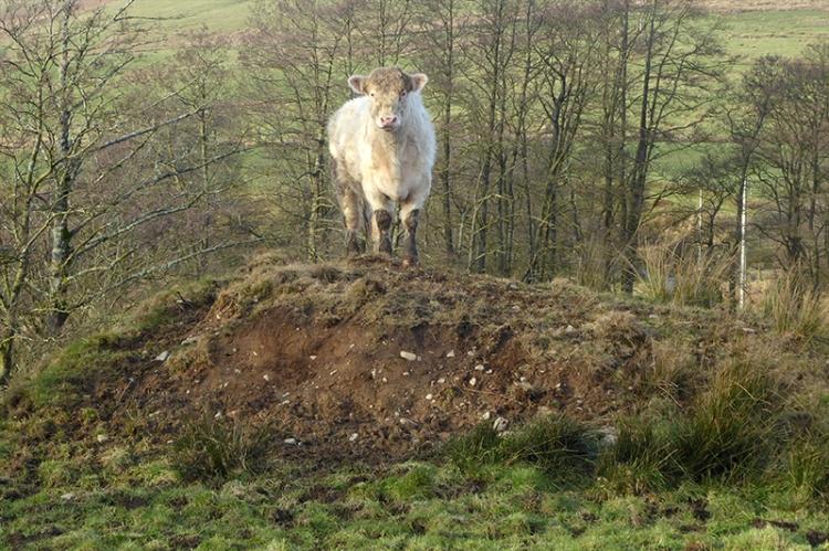 bullock on mound