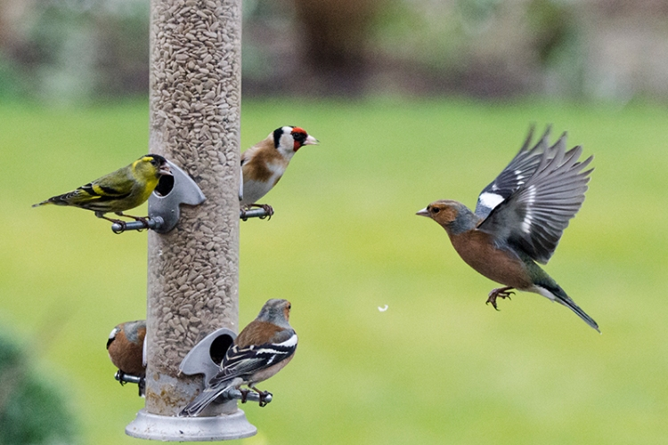 busy feeder with a siskin
