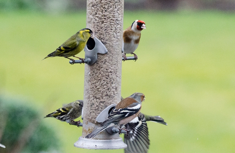 busy feeder with two siskin