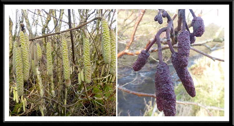 catkins two