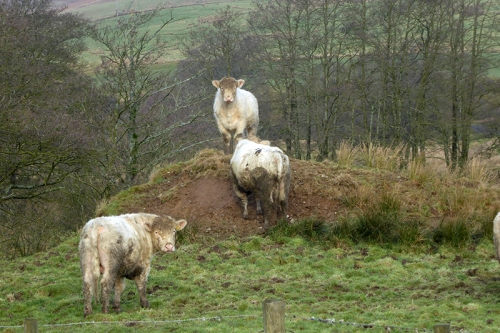 cattle king of the mountain