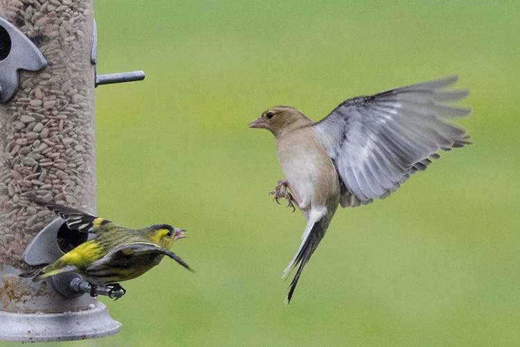 chaffinch blown away by siskin