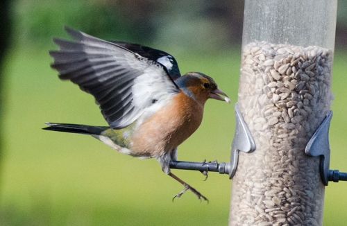 chaffinch missing perch
