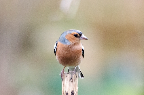 chaffinch on sunflower stalk