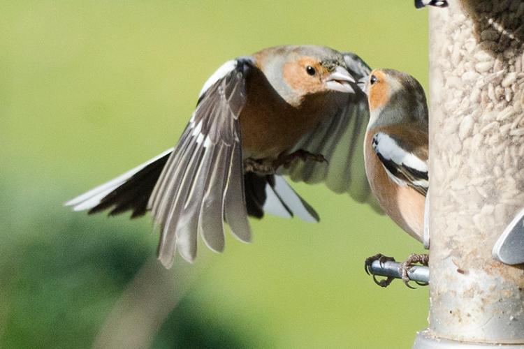 chaffinches beak to beak