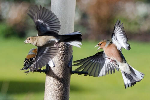 chaffinches coming and going at feeder