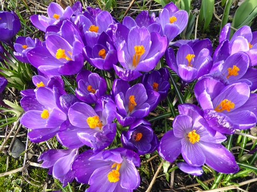 clump of blue crocus