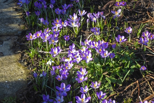 clump of crocuses