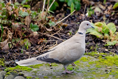 collared dove on ground