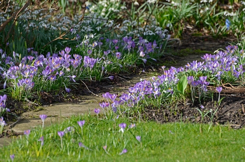 crocuses beside opath