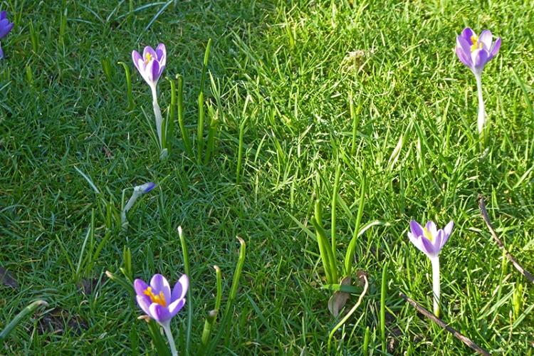 crocuses on lawn
