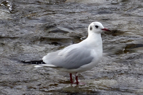 developing black headed gull