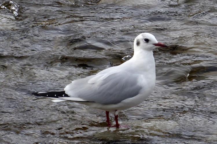 developing black headed gull