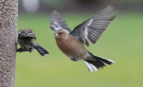 dim flying chaffinch