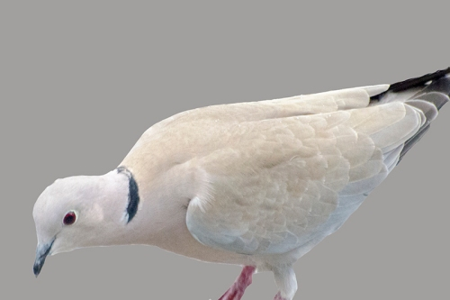 doctored collared dove