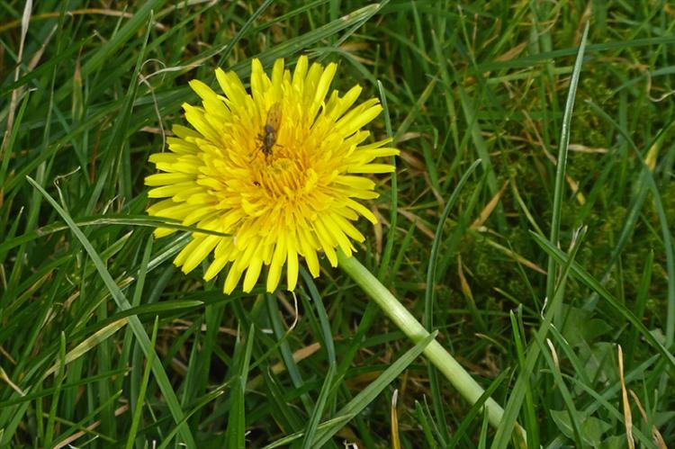 first dandelion of spring