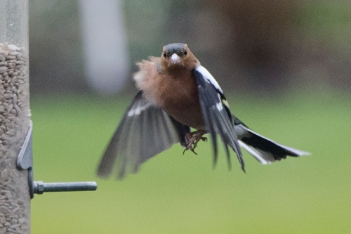 fluffly flying chaffinch