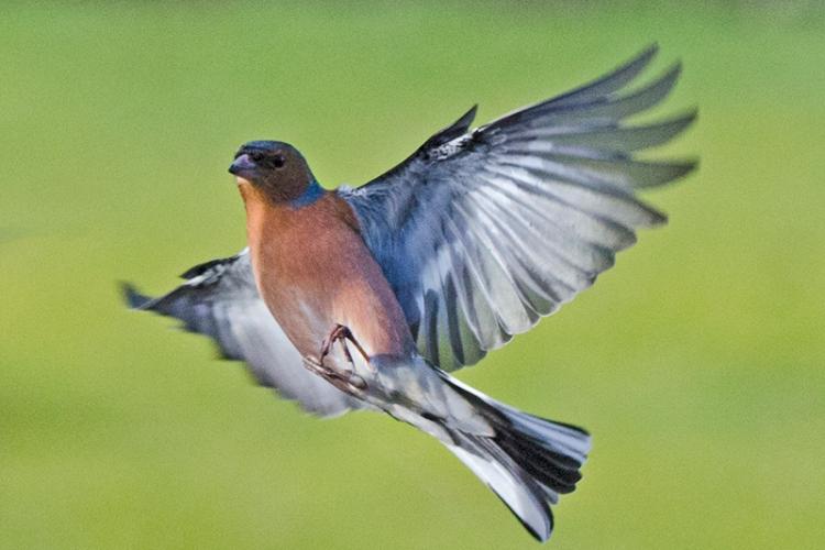 flying chaffinch (2)