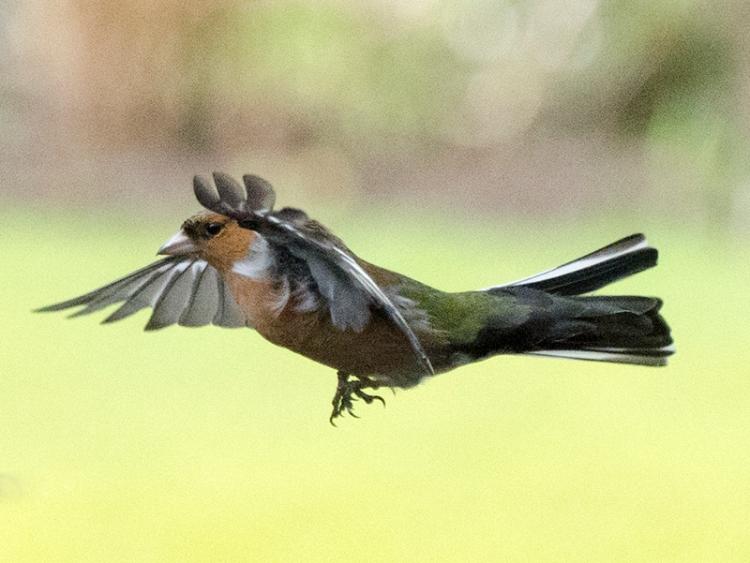 flying chaffinch (3)