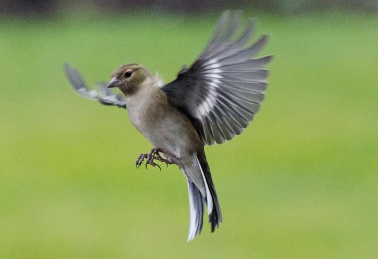 flying chaffinch feb