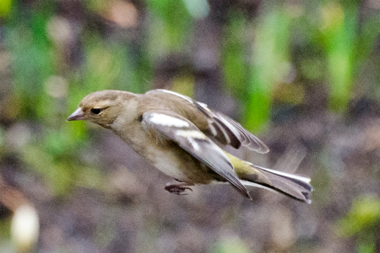 flying chaffinch from above