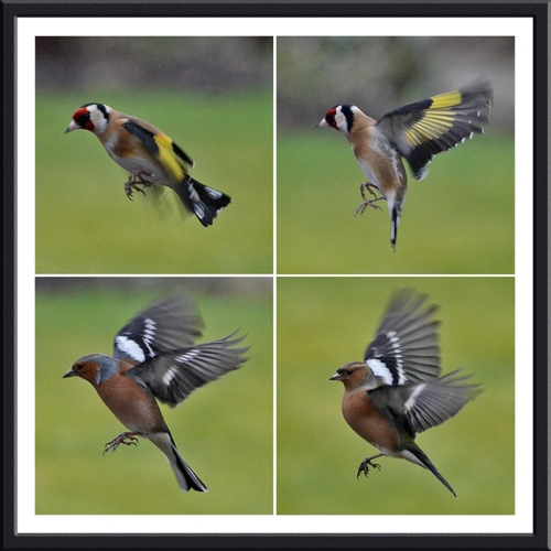 flying chaffinches and goldfinches