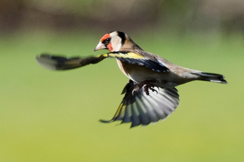 flying goldfinch (2)