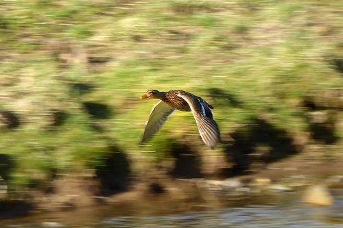 flyng duck