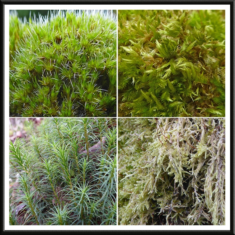 four gaskell mosses