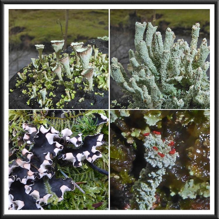 four gaskells lichens