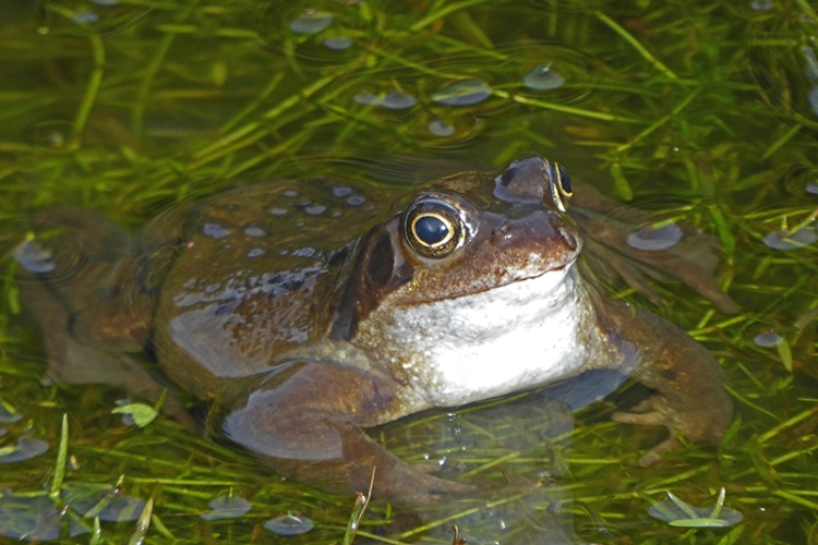 frog in wed