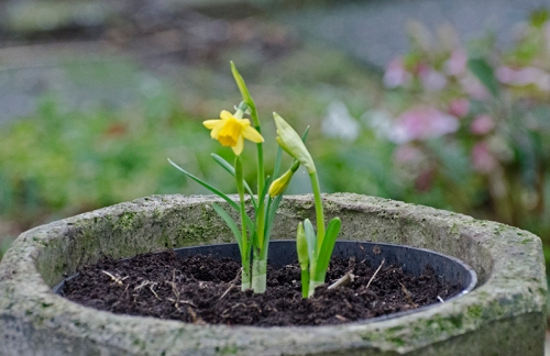 garden centre daffodil