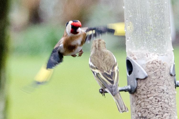 goldfinch approaching chaffinch