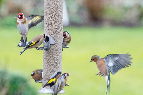 goldfinches and chaffinches