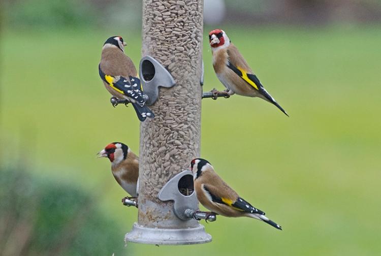 goldfinches quartet