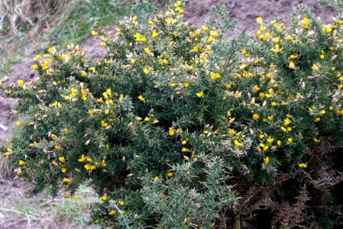 gorse at powfoot