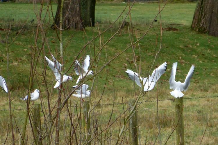 gulls shoving