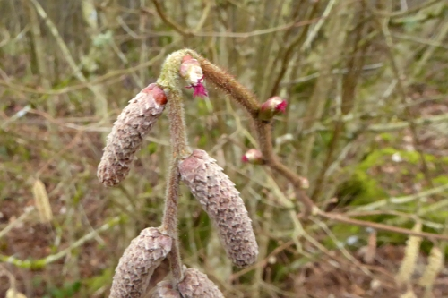 hazel flower and catkins