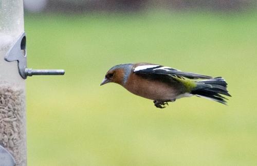 horizontal chaffinch